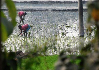 Yvonne-Koch-Bangladesch-Reisplanzung